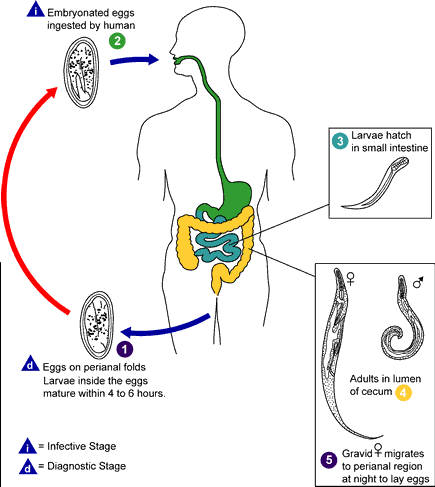 Picture showing cycle of pinworm infestion in humans from the egg stage to larvae stage
